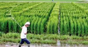 New Hybrid Rice Doubles Income of Philippine Farmers