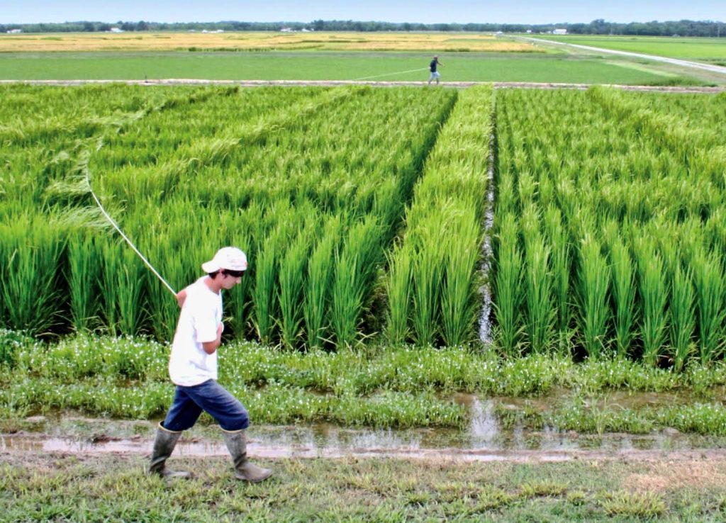 hybrid-rice