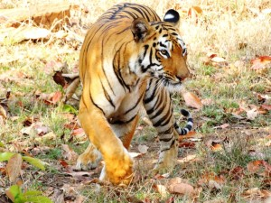 Tadoba Tiger Reserve's resident tiger