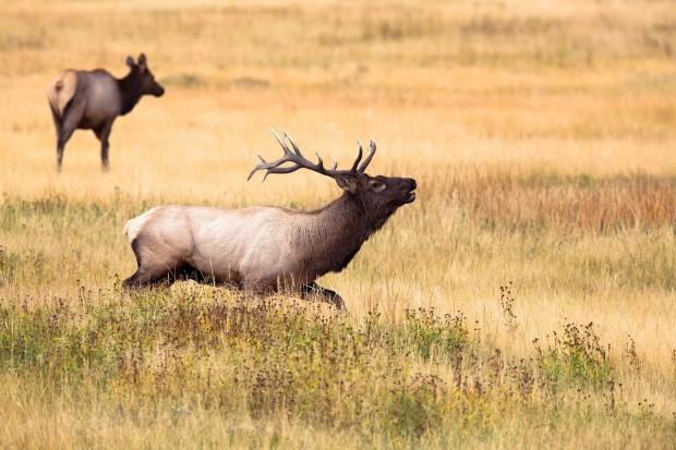 elk, sports-hunting-business