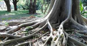 Roots: Pipes Trouble During Rainy Season