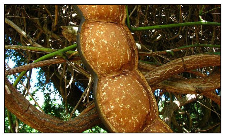 organic gugo shampoo plant