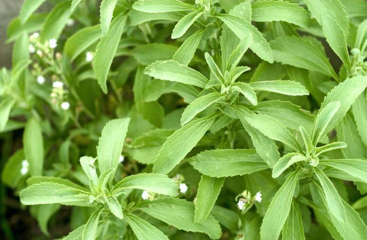 Stevia Supplier Philippines - Negosentro