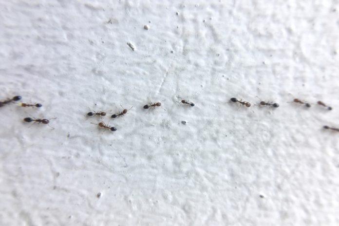 ants pests